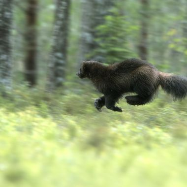 Wolverine_on_the_move