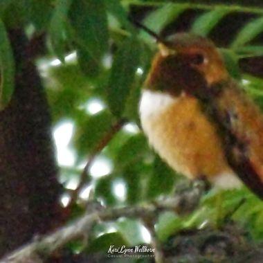Hummingbird in hiding