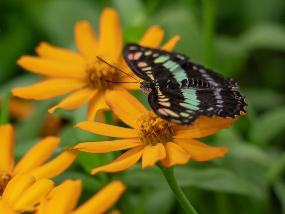 PSCC butterfly