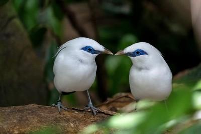 Bali Starling-1