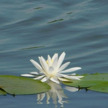Single Waterlily reflection