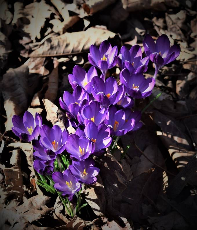 These crocus grow in the dreary woods and are among the first flowers of spring.