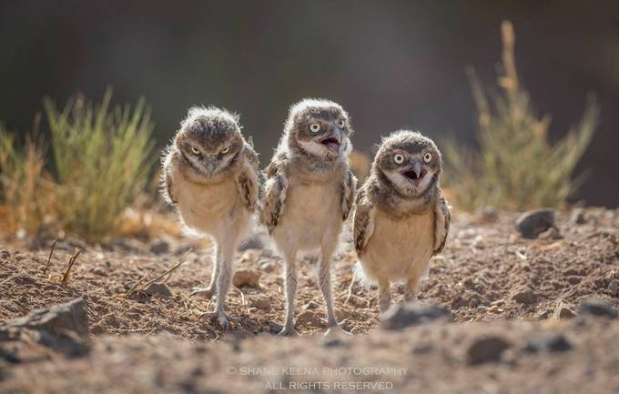 A trio of baby burrowing owls at sunrise. by smkeena - Small Wildlife Photo Contest
