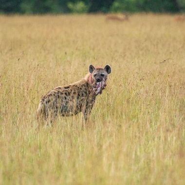 Hyena with Leftovers