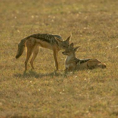 Two Dingos Greeting