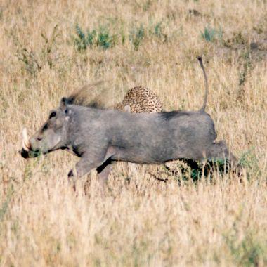 Warthog vs Cheeta