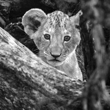 Samburo Lion Cub