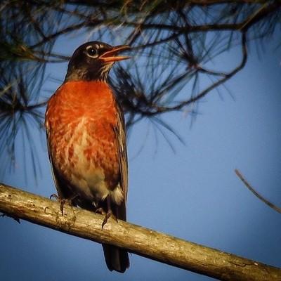 American Robin endlessly caroling in the evening light.  #trailsend #americanrobin #eveninglight #birding #birdphotography #birdwatching #outthebackdoor #backyardnature #pocket_birds #best_birds_of_world #bird_brilliance #mybirdwatch #canon_photos #canonp
