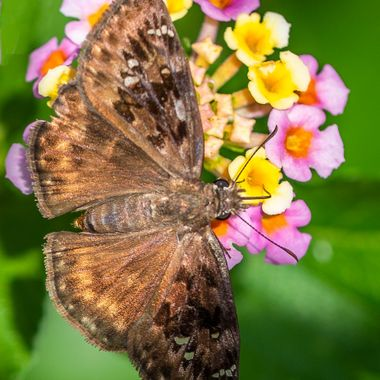 A rather drab brown butterfly on a colorful blossom.