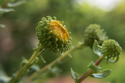 macro of bud with sticky leaves
