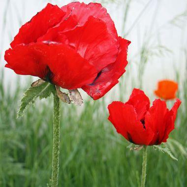 RED POPPY 025