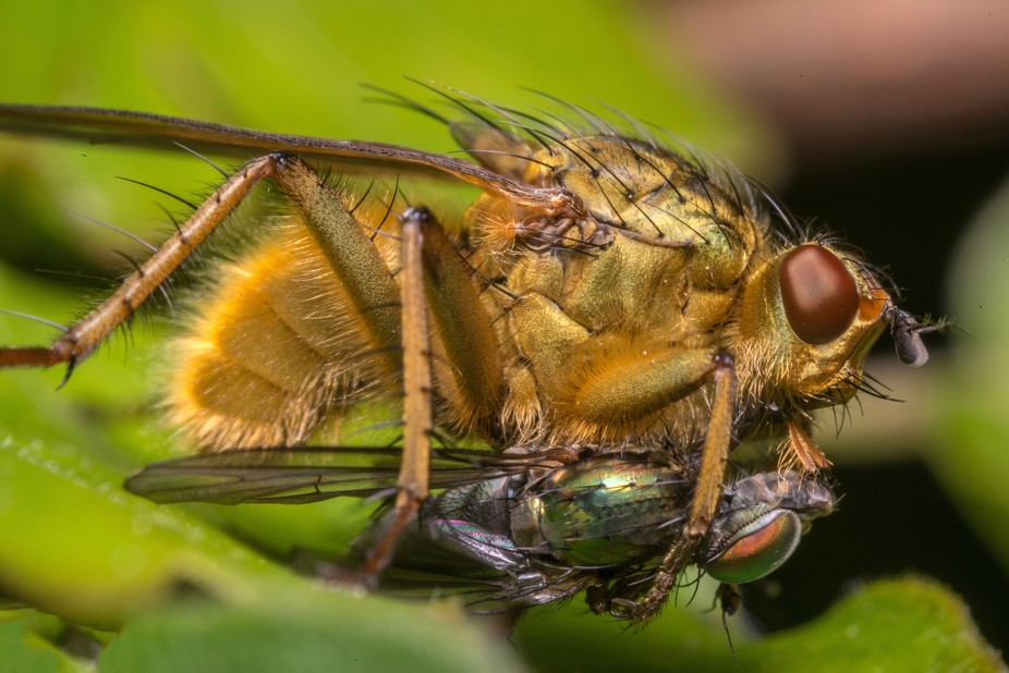 A Scatophaga Stercoraria eating another fly
