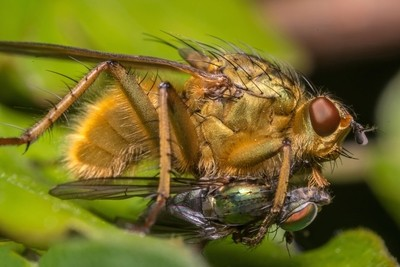 Scatophaga Stercoraria