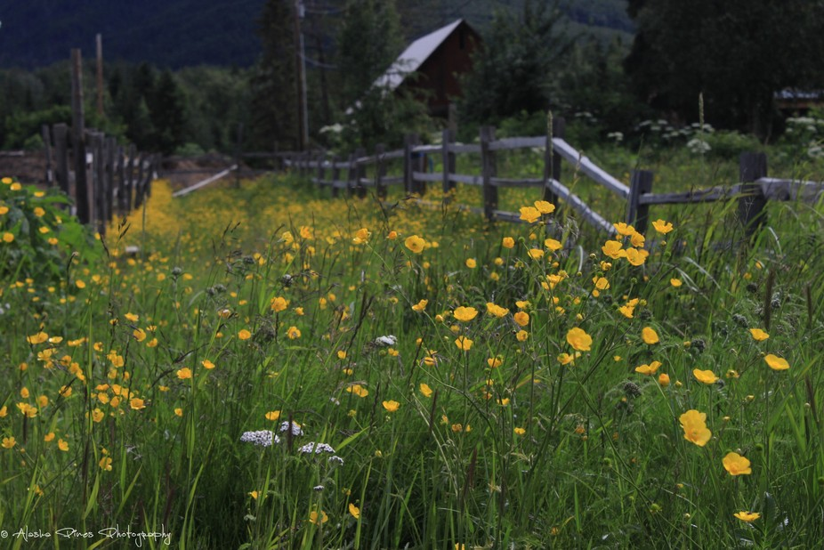 A lovely patch of buttercups in the teeny tiny town of Hope, Alaska.