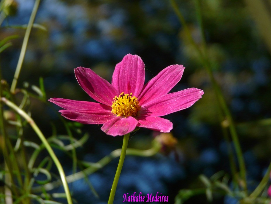 My favorite Shot of Cosmos Flower.No Manipulation Taken as is.I love the background Color.Parfait.