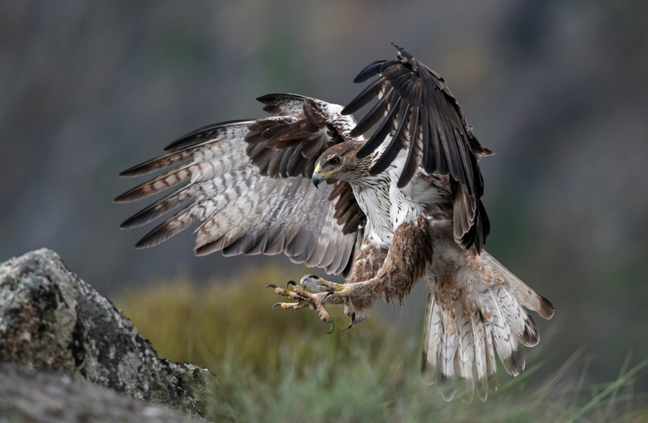 Bonelli's eagle, in flight