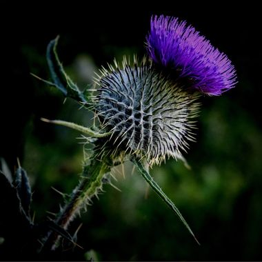 Proud Spiky Thistle