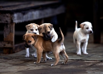 Cute puppies in Myanmar