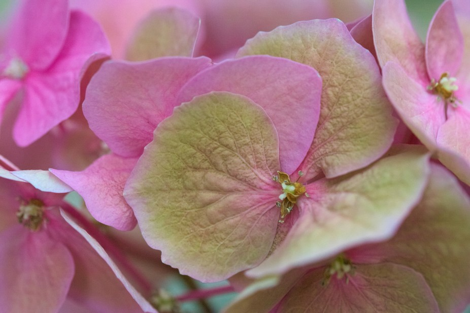 Hortensia (hydrangea) petals are full of amazing details and colors. I just love them!