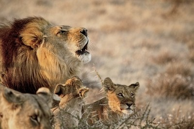 Black-maned Lion Of The Kalahari With Two Cubs