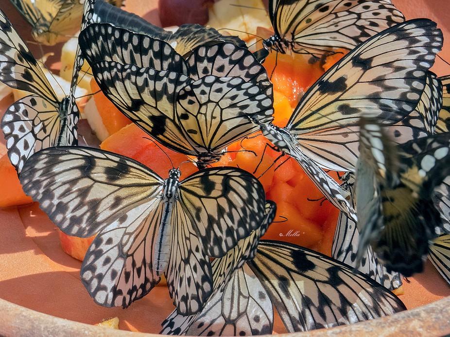 Tree nimph butterflies Singapore