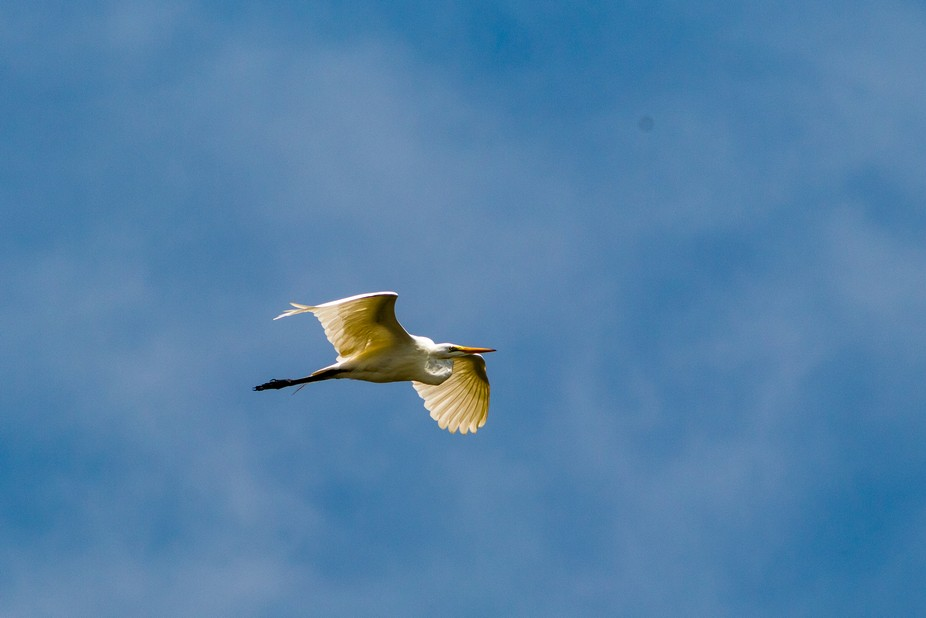 A Great White Egret caught flying towards its perch and other egrets.