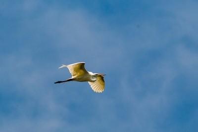 20180630-Great White Egret in flight