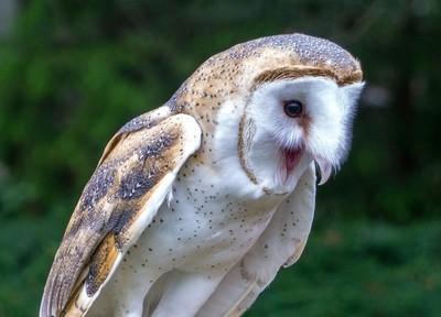 Barn Owl-DSC05491