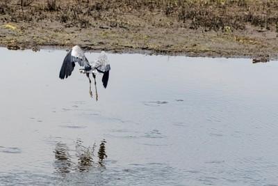 20180630-Great Blue Heron Hunting in Flight