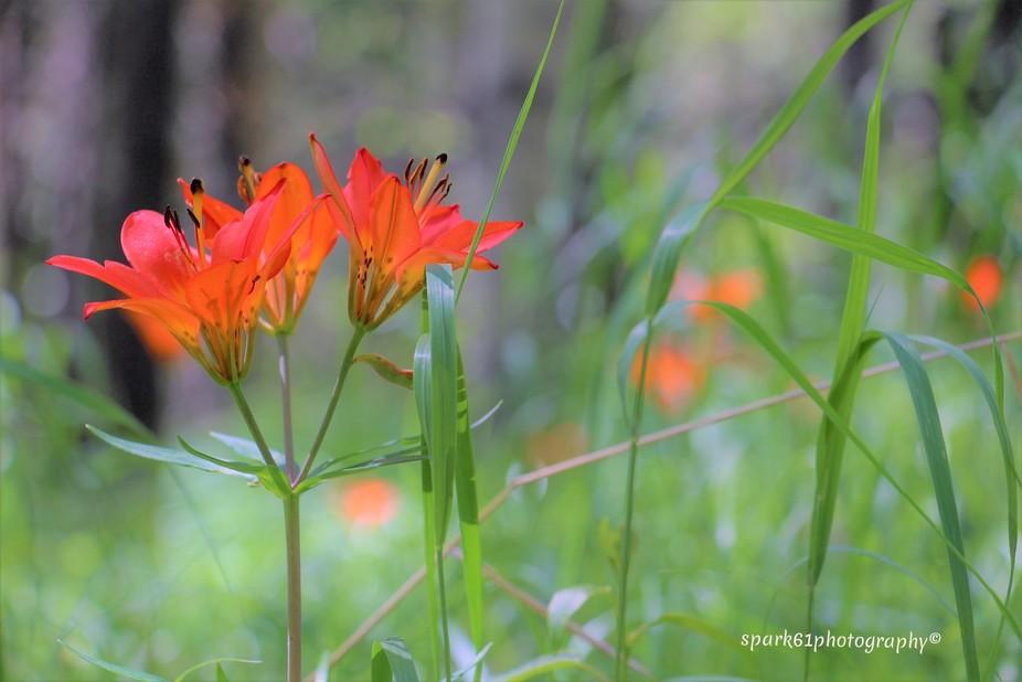 Wild Tiger Lily