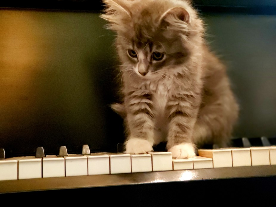 Diddle the 10 week old kitten, learning to play the piano
