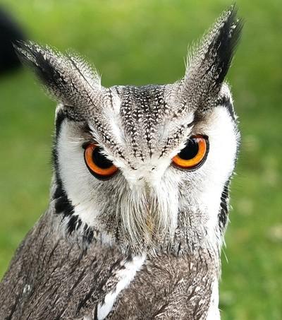 European White Faced Scops Owl.