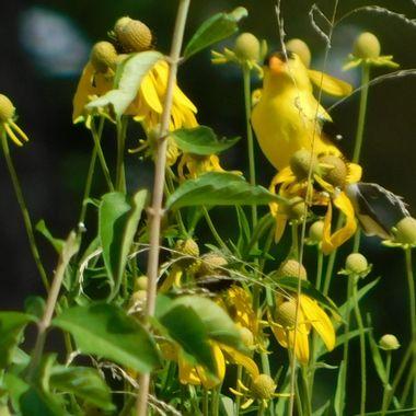 Warbler on Coneflower