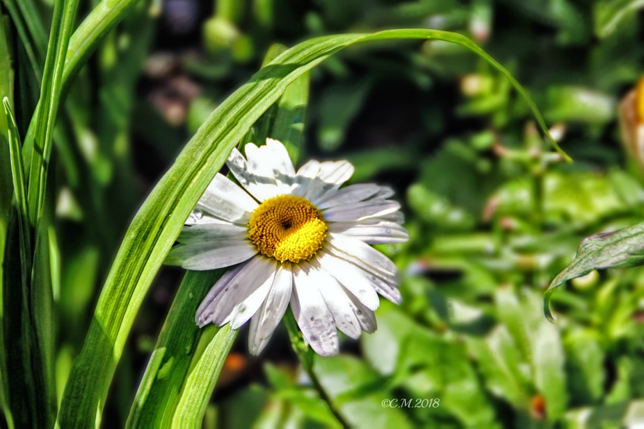 Macro shot of a daisy in shade.