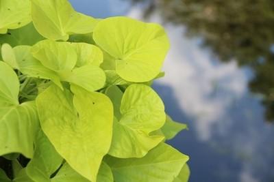 Leafy Beauty