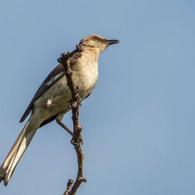 A northern mockingbird near Lake Travis, Texas