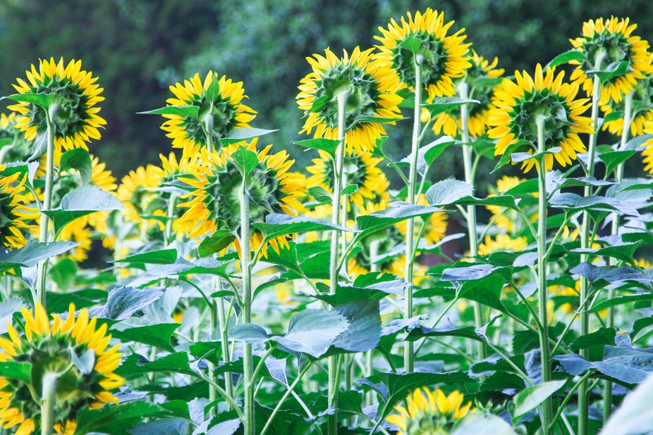 I arrived at the Sunflower field and this was how I was greeted.