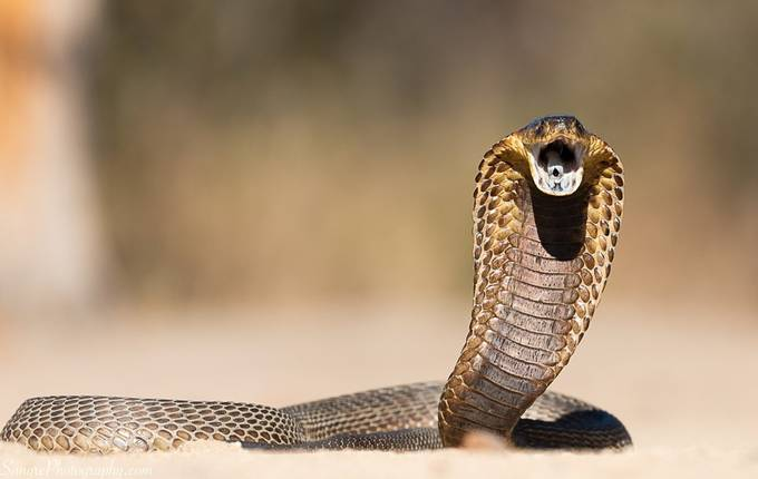 Cobra by donvawter - Reptiles Photo Contest