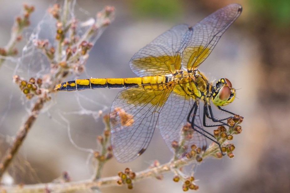 The Dragonfly, Libelle, Agility, Speed, and beauty.  I especially enjoy following their antics wh...