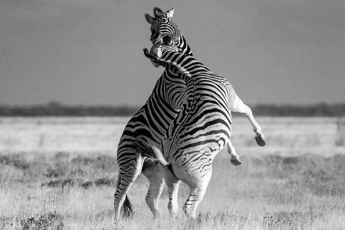 Gideon Malherbe_Striped Gladiators by GideonMalherbe - Our World In Black And White Photo Contest