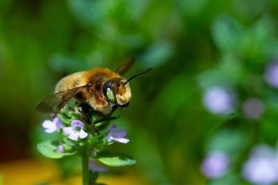 Bee on lemon thyme