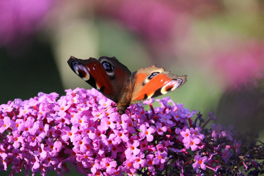 Butterfly smelling flowers