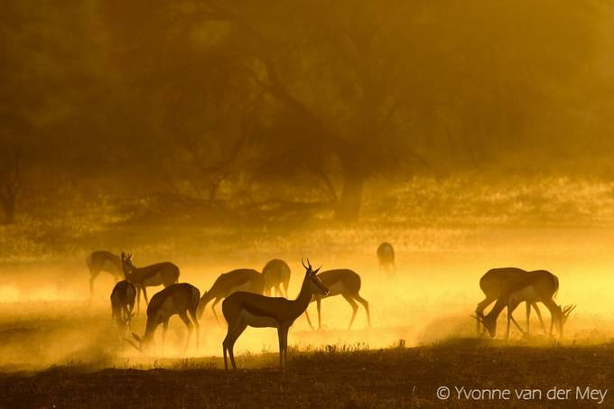 Springbok in golden light   by YvonnevanderMey - Monthly Pro Photo Contest Vol 44