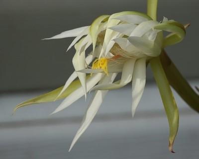Epiphyllum hookeri or Hybrid