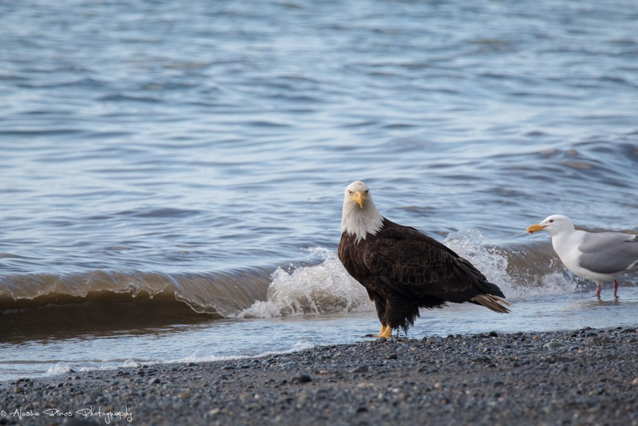 One of many Bald Eagles on Anchor Point beach.