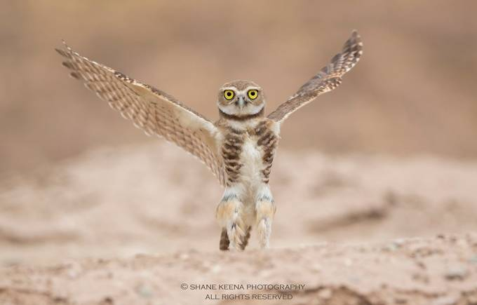 Burrowing Owl (Athene cunicularia) stretch! Salton Sea, CA. USA by smkeena - Small Wildlife Photo Contest