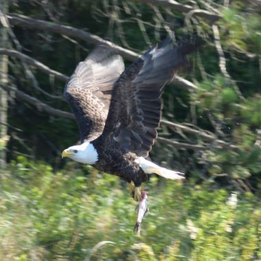 Eagle with fish