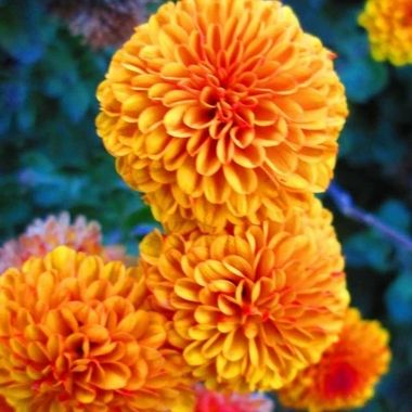 Bright Orange Dahlias. One of my favorite flowers, my grandma used to grow them.