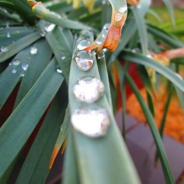 Water drops sliding down a daffodil leaf.