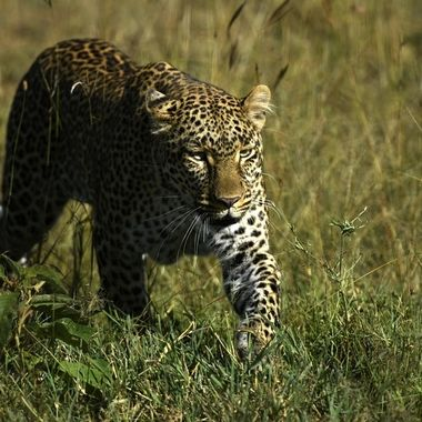 Leopardess on the Move